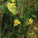 Image of Yellow Marsh Saxifrage