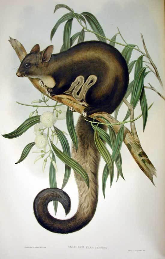 Image of <i>Petaurus australis</i> Shaw 1791