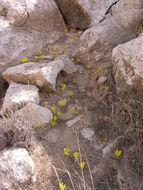 Image of <i>Sternbergia clusiana</i> (Ker Gawl.) Ker Gawl. ex Spreng.