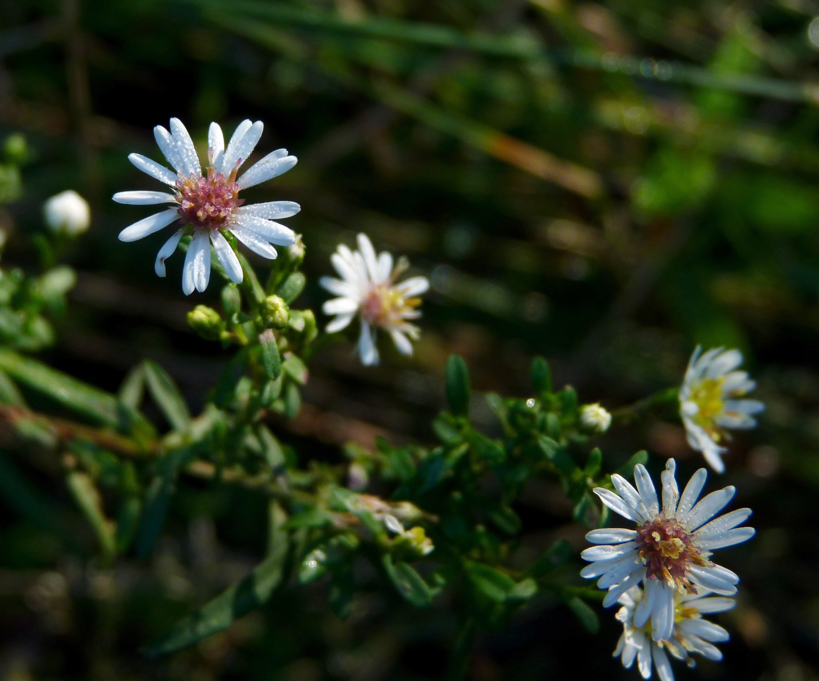 Image of calico aster
