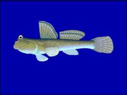 Image of Atlantic Mudskipper