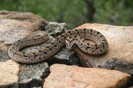 Image of Cape viper