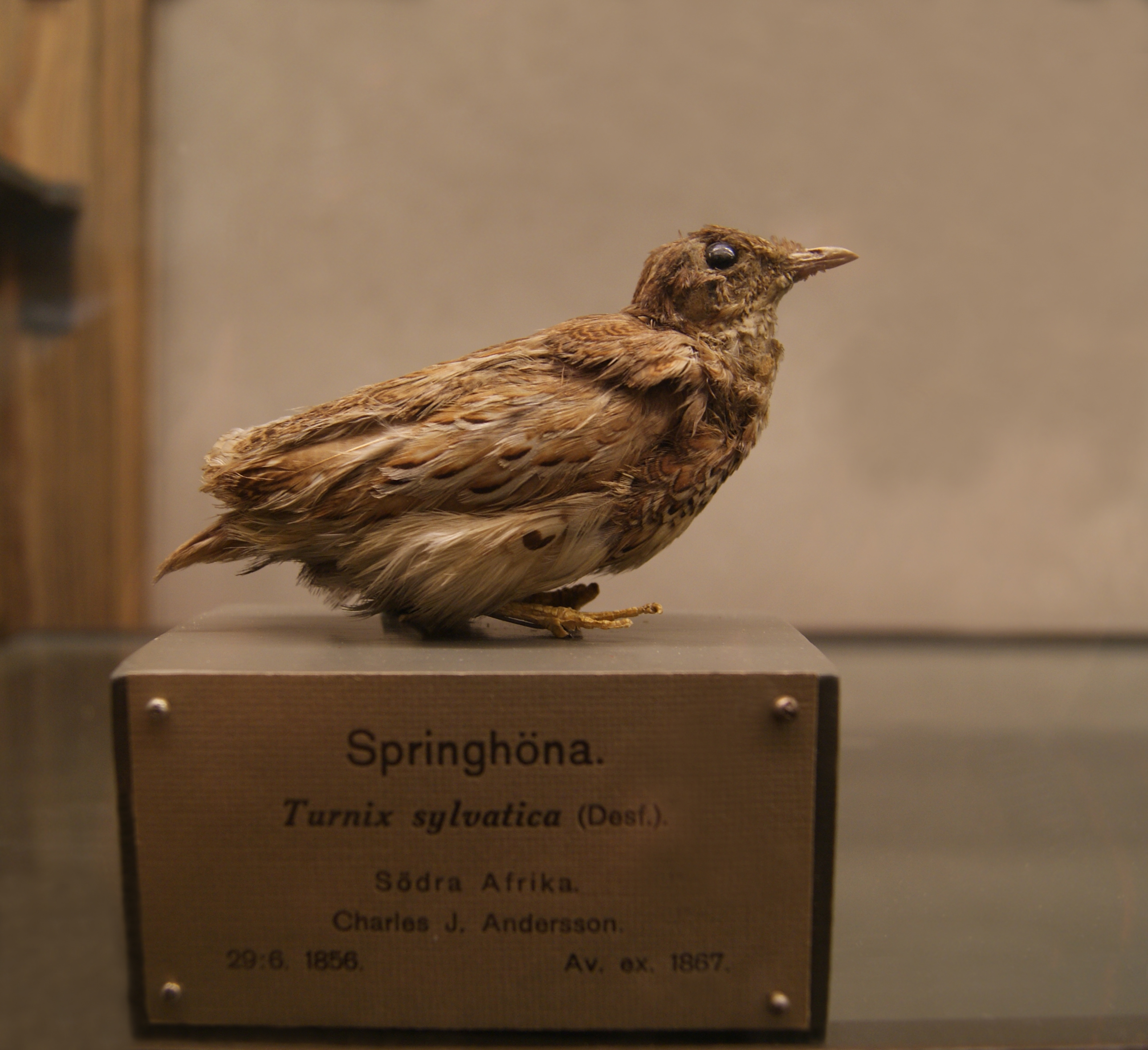 Image of Small buttonquail