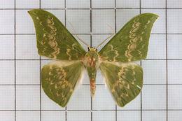 Image of <i>Tanaorhinus kina</i> Swinhoe 1893