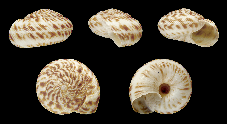 Image of <i>Anguispira alternata</i> (Say 1816)