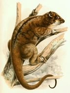 Image of Goldon Ringtail Possum