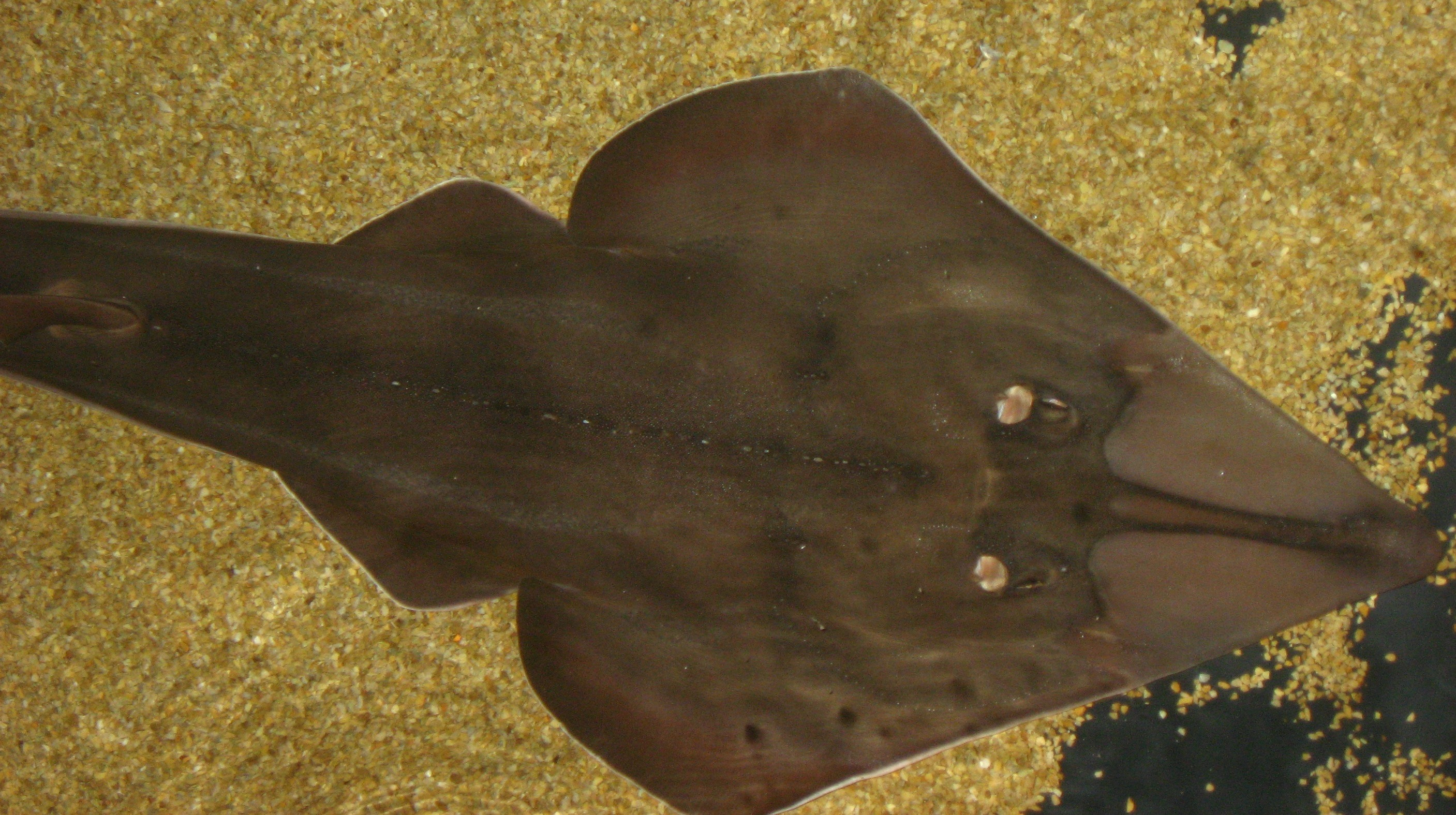 Image of Blackchin guitarfish