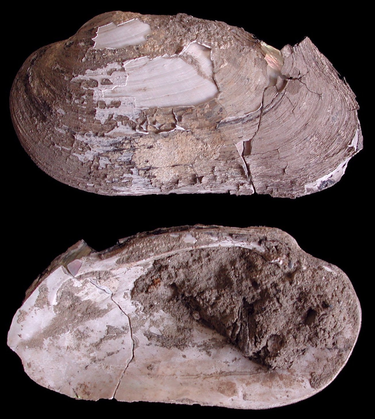 Image of <i>Margaritifera auricularia</i>