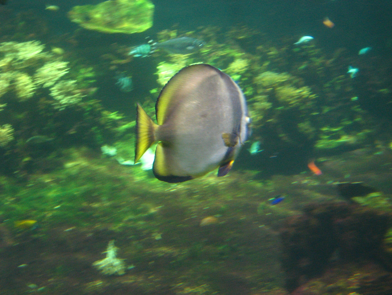 Image of pinnate spadefish, pinnate batfish, dusky batfish, shaded batfish, red-faced batfish