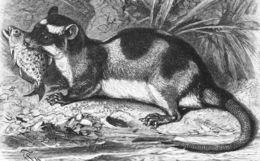 Image of Water Opossum