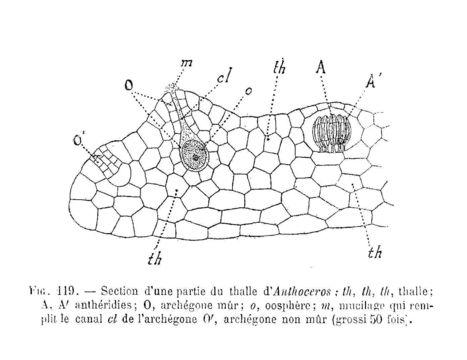 Image of Anthoceros
