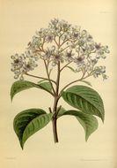 Image of <i>Dichroa febrifuga</i> Lour.