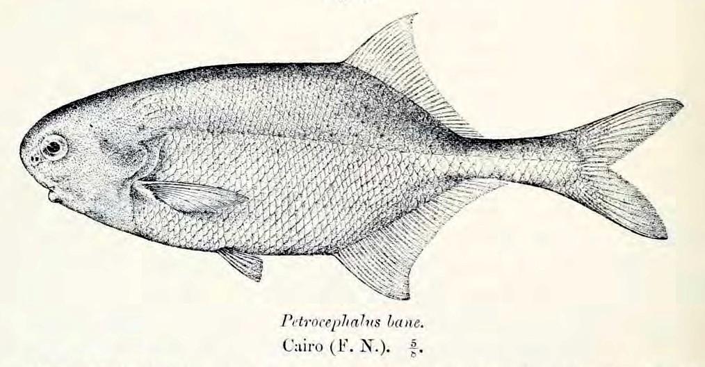 Image of <i>Petrocephalus bane</i> (Lacepède 1803)