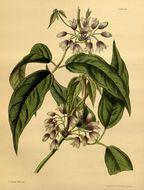 Image of <i>Stauntonia latifolia</i>