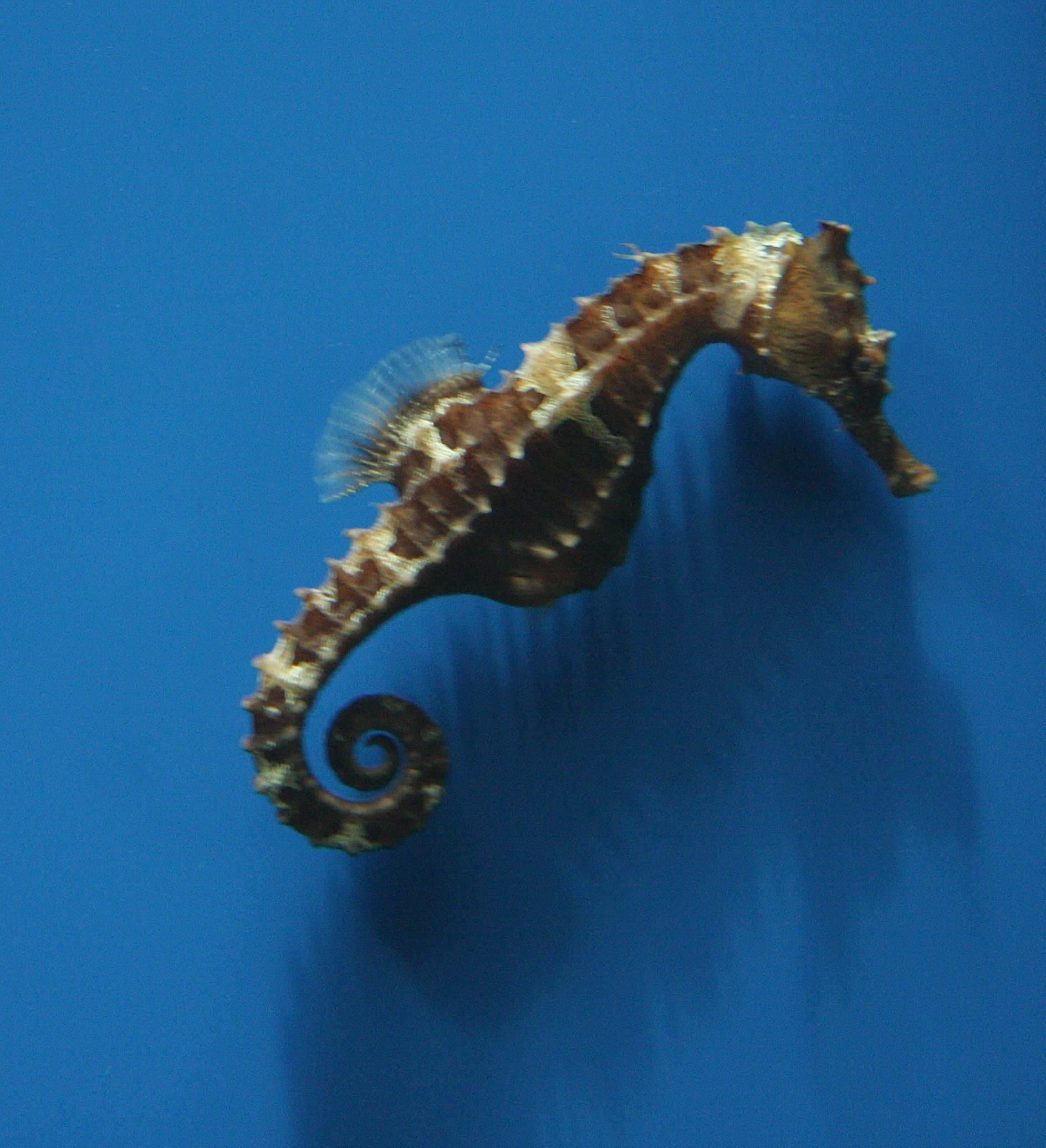 Image of Lined Seahorse