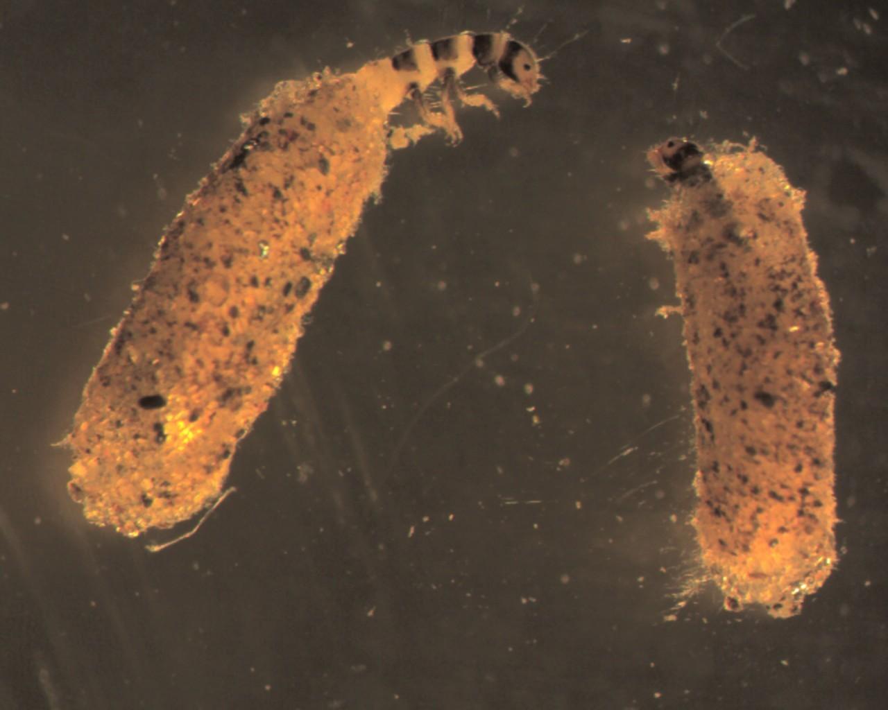 Image of Hydroptila