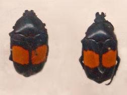 Image of <i>Dilochrosis balteata</i> (Snellen van Vollenhoven 1871)