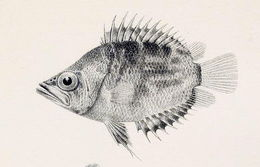 Image of African Leaffish