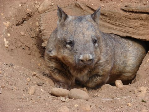 Image of Southern Hairy-nosed Wombat