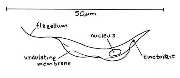 Image of Trypanosoma