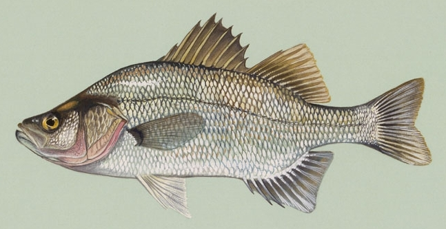 Image of White Perch