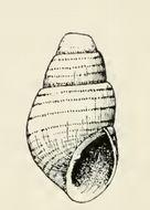 Image of <i>Odostomia chilensis</i> Dall & Bartsch 1909