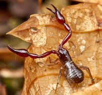Image of Neobisiidae