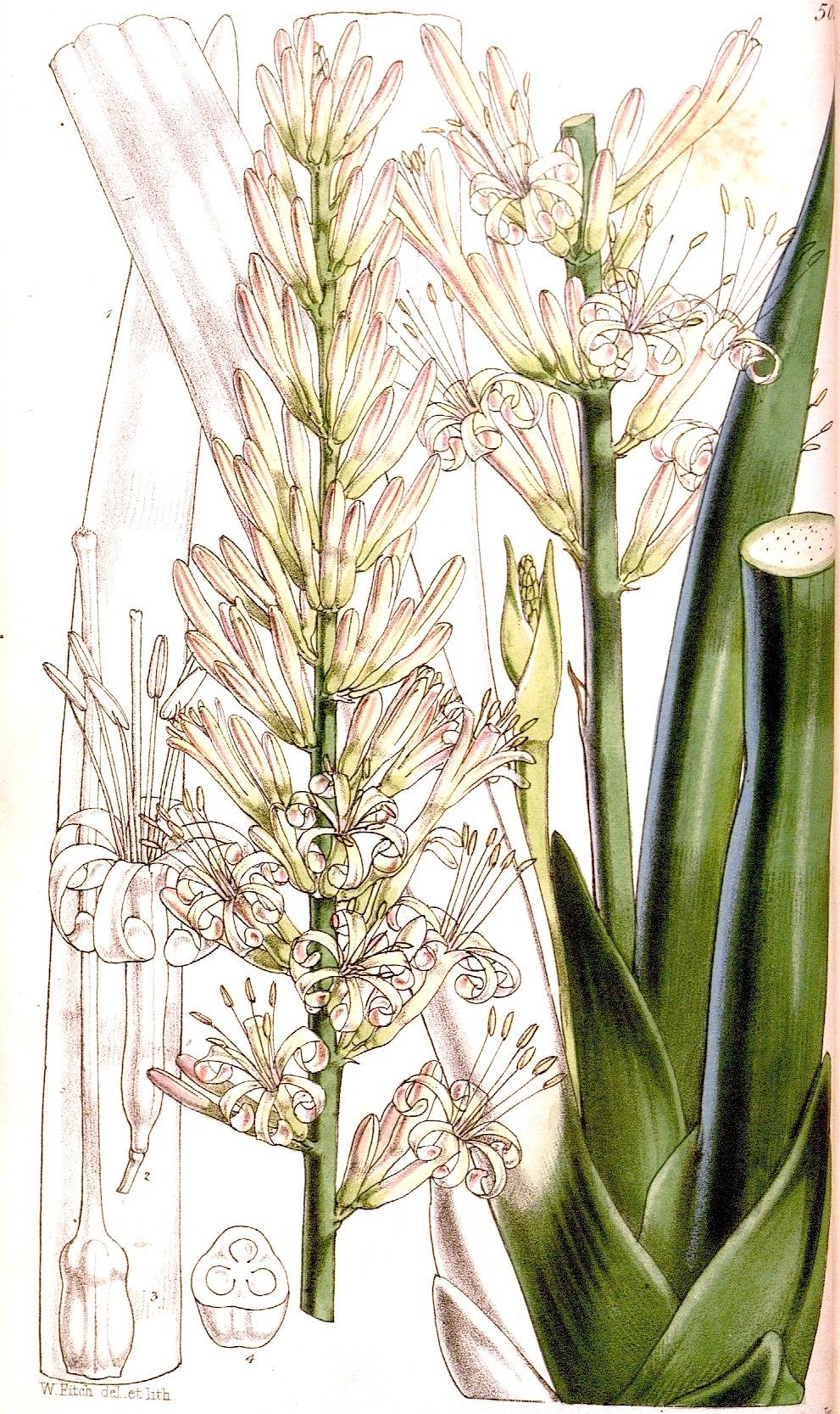 Image of <i>Sansevieria cylindrica</i> Bojer ex Hook.