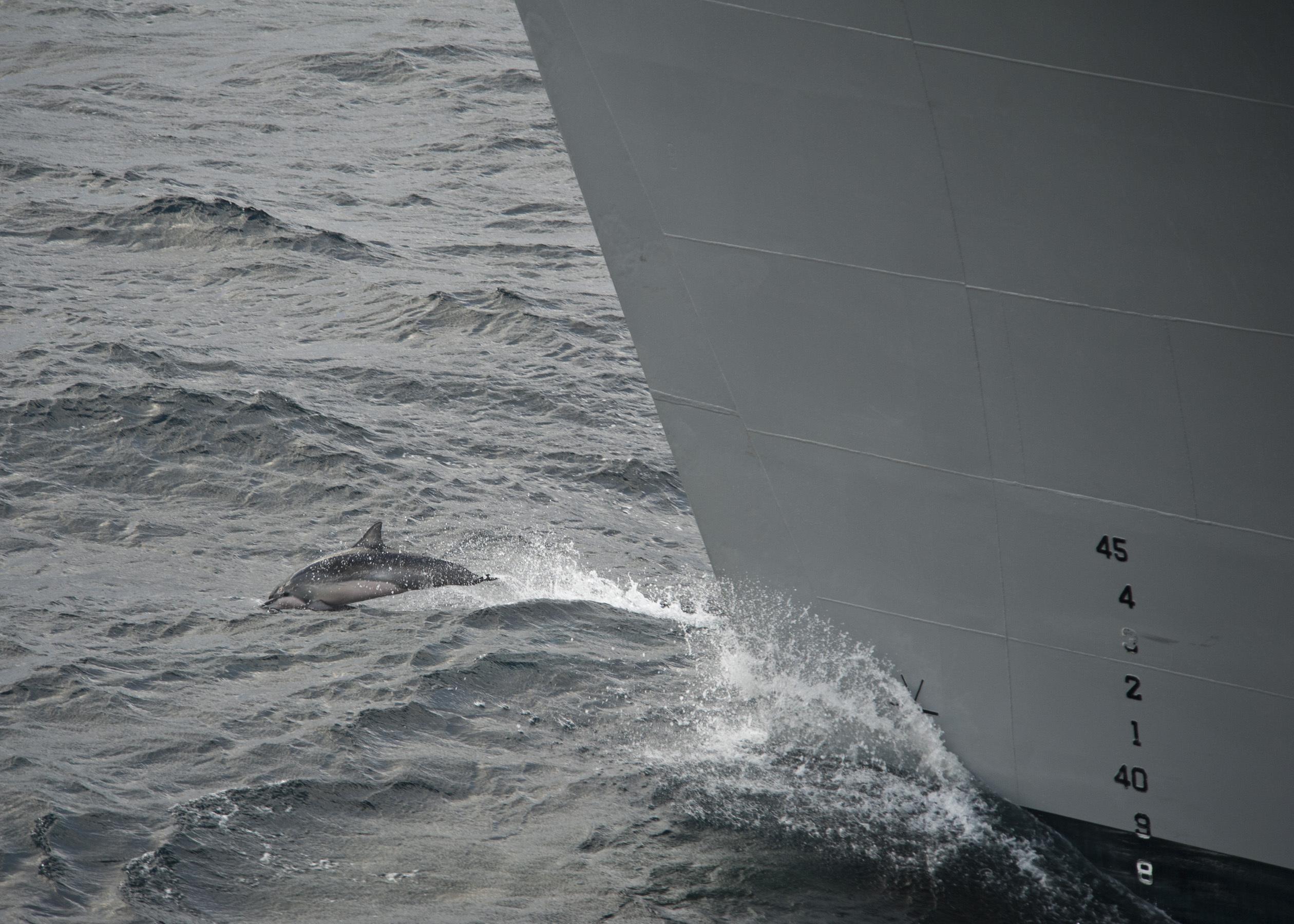Image of Atlantic Spinner Dolphin
