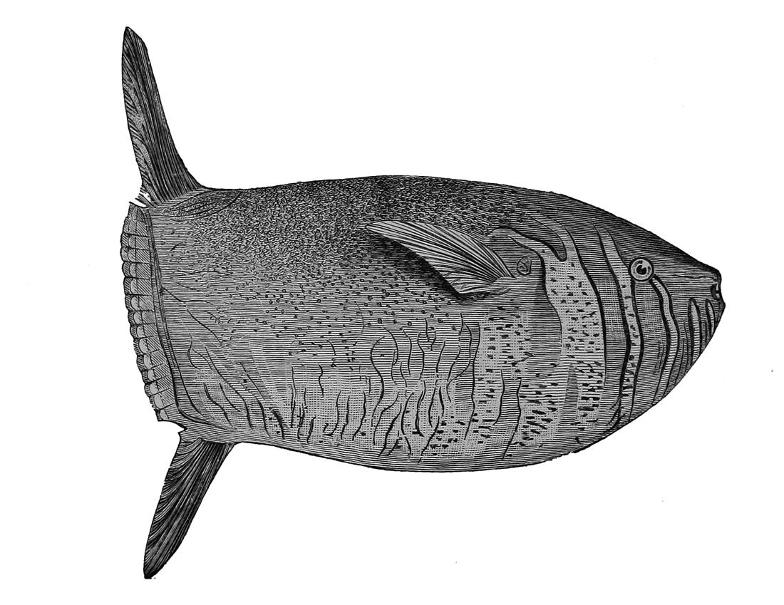 Image of Dwarf Sunfish