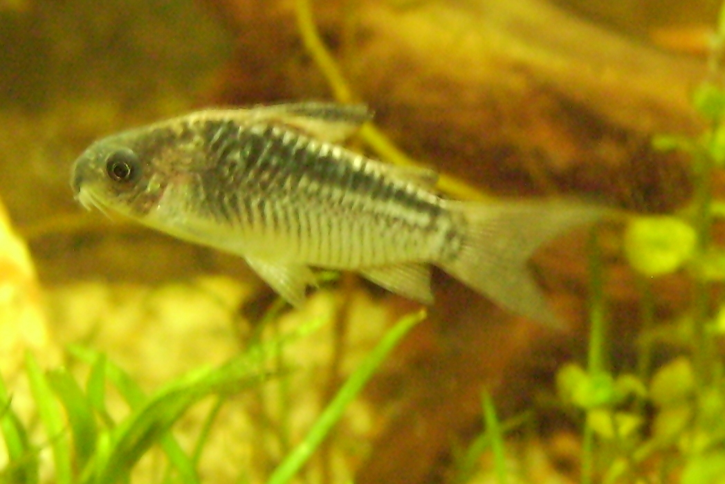 Image of Elegant catfish