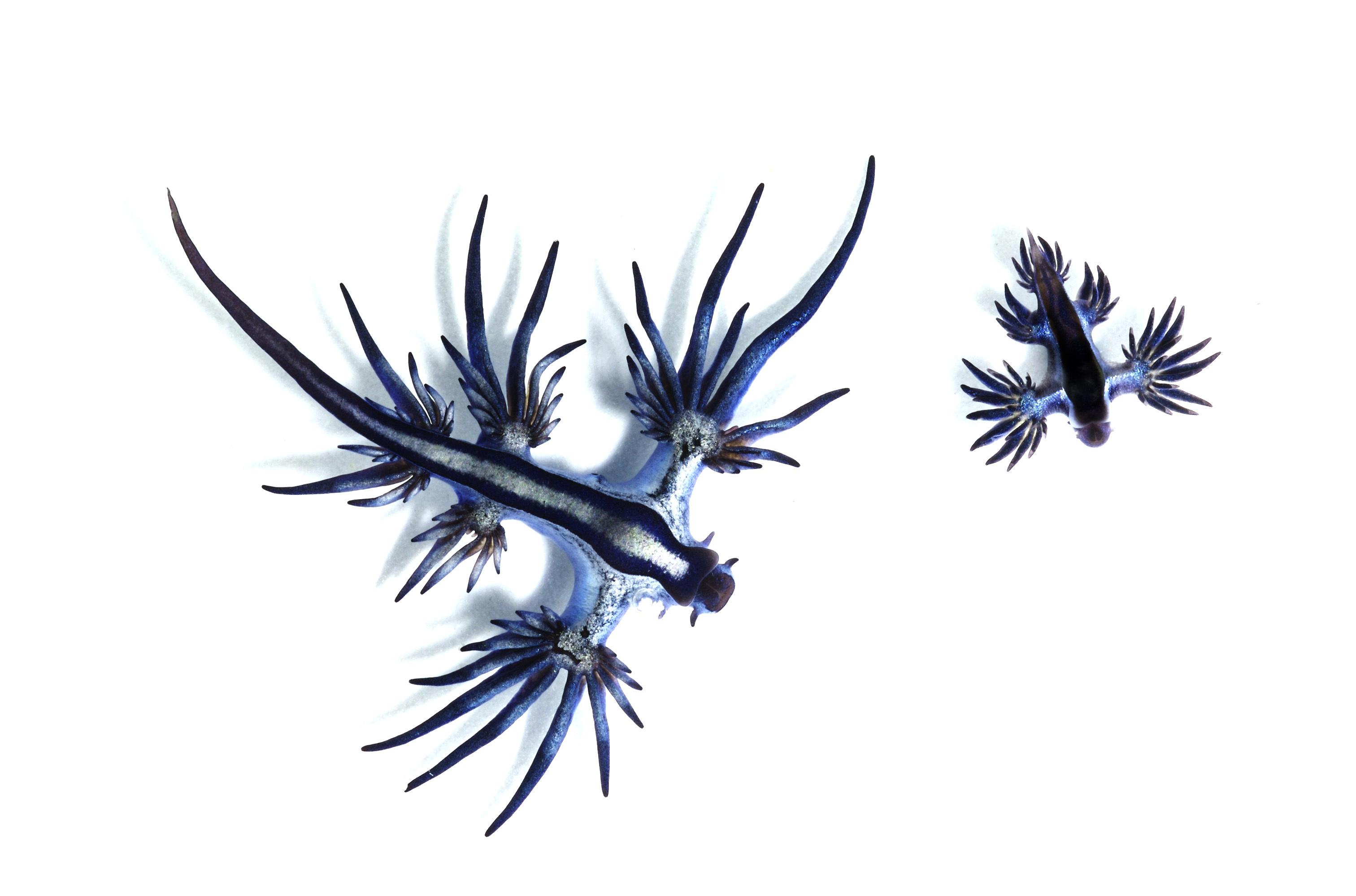 Image of <i>Glaucus marginatus</i> (Reinhardt & Bergh 1864)