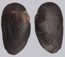 Image of <i>Margaritifera margaritifera</i>