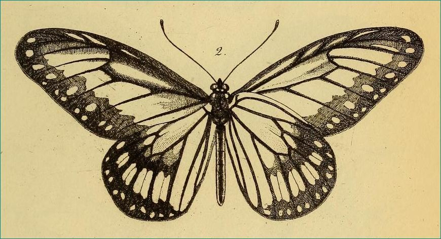 Image of <i>Ideopsis vitrea</i> Blanchard 1853
