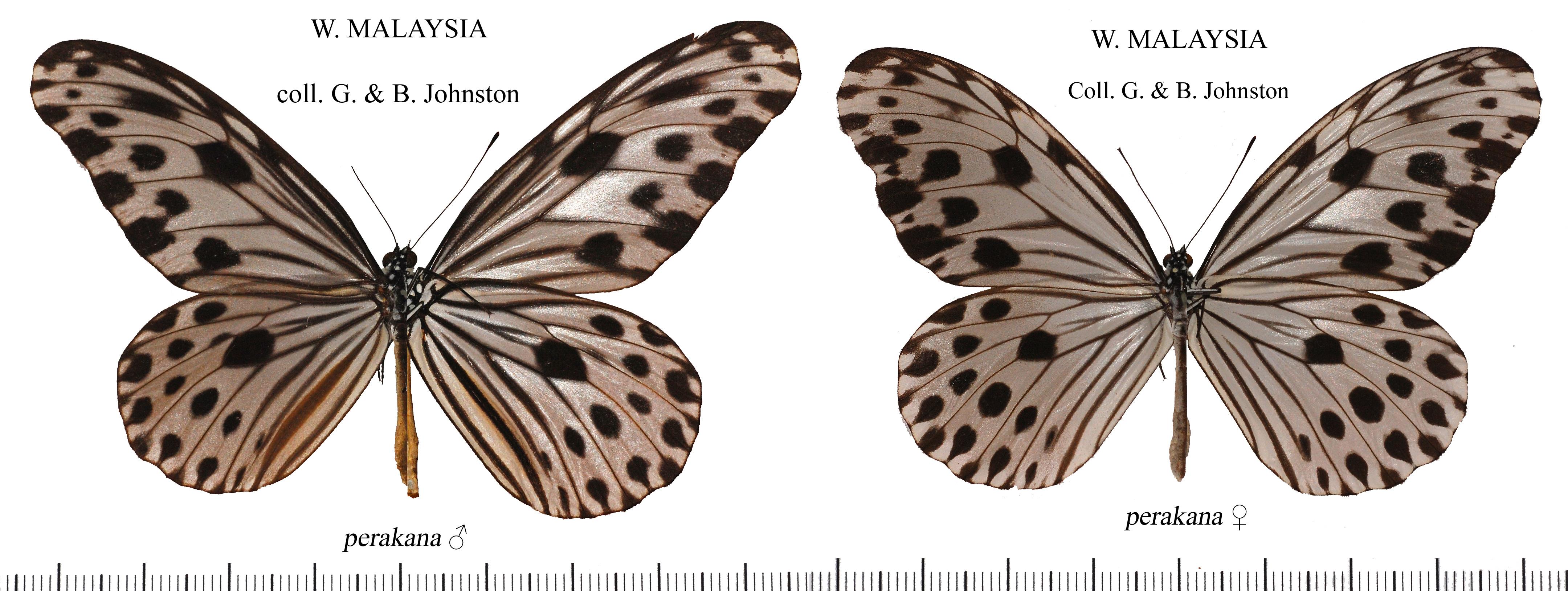 Image of <i>Ideopsis gaura</i> Horsfield 1829