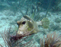 Image of Spotted Trunkfish