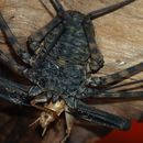Image of tailless whip scorpions