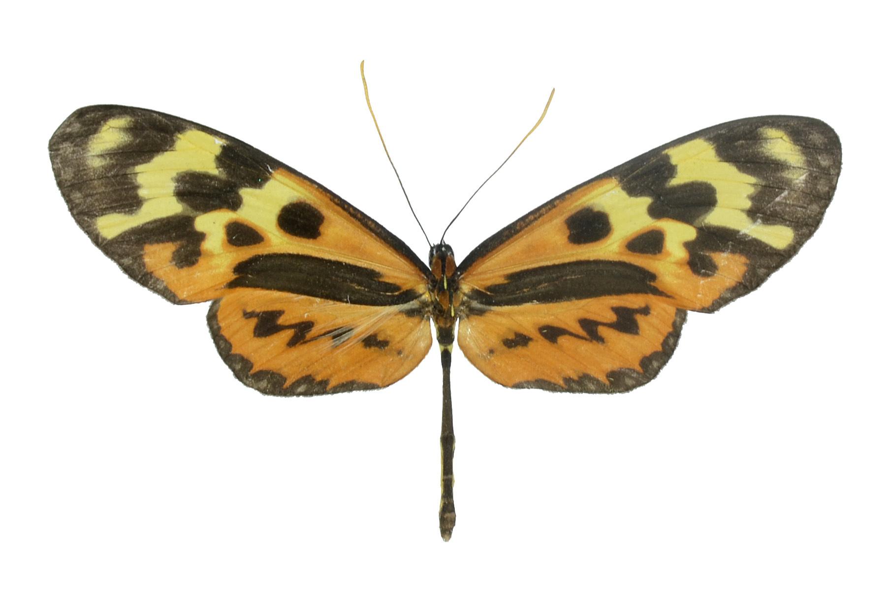 Image of <i>Forbestra olivencia</i> Bates 1862