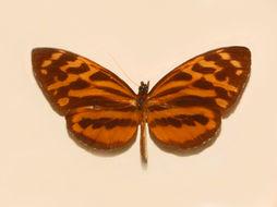 Image of <i>Tithorea harmonia</i> Cramer 1779