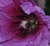 Image of <i>Alcea setosa</i> (Boiss.) Alef.