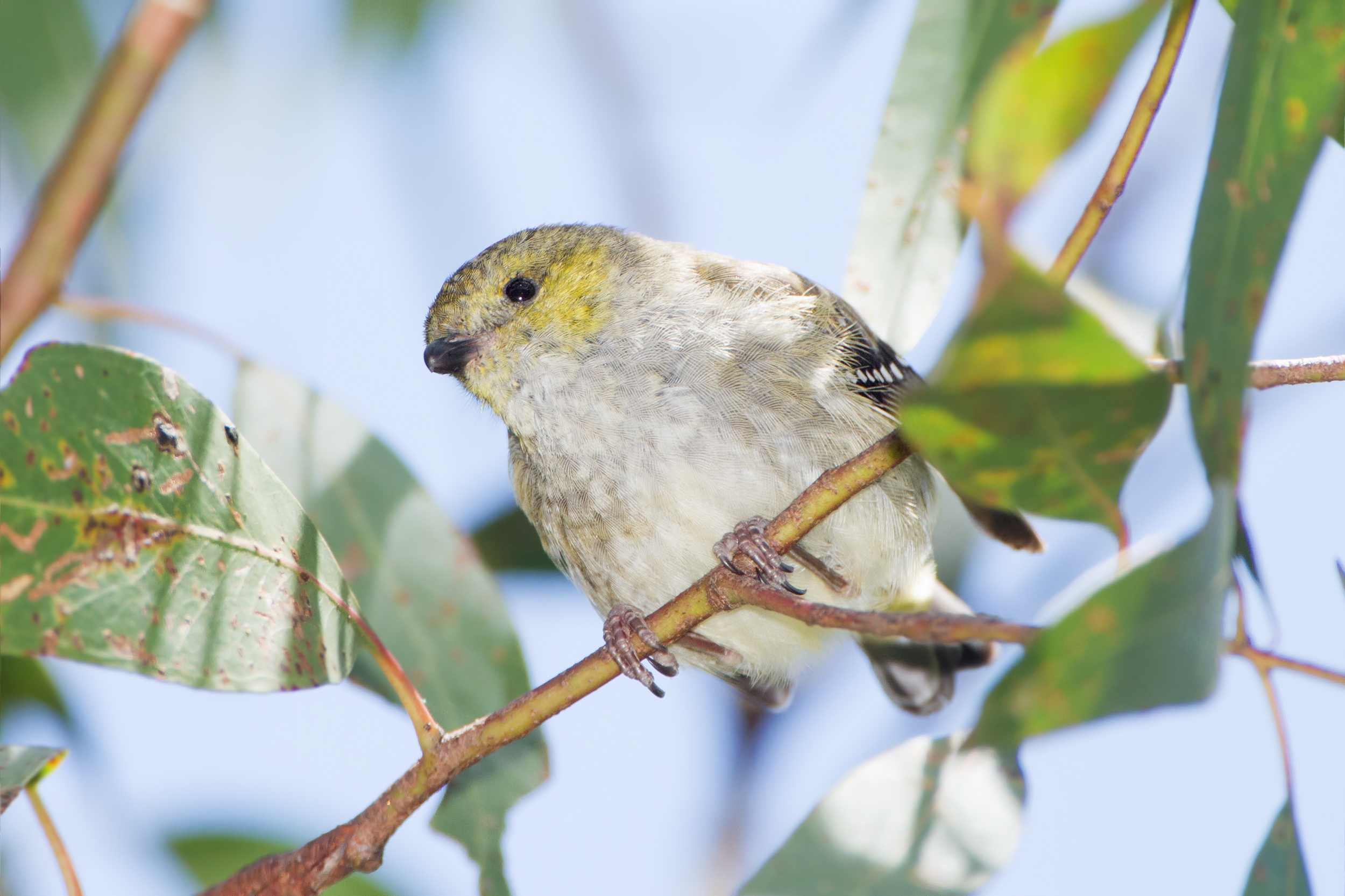 Image of Forty-spotted Pardalote