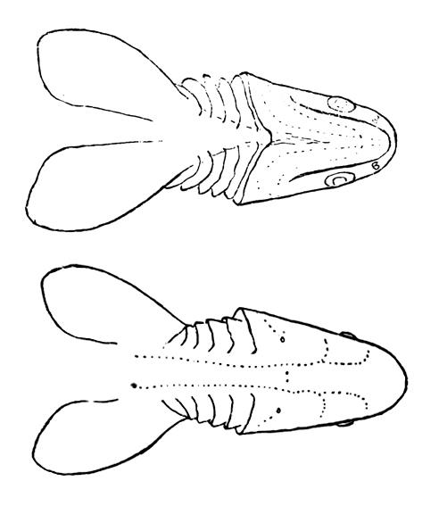 Image of <i>Chlamydoselachus anguineus</i> Garman 1884