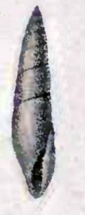 Image of <i>Hypermastus philippiana</i>