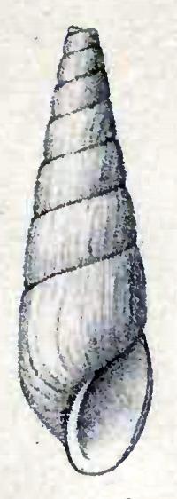 Image of <i>Halielloides nitidus</i> (Verrill 1884)