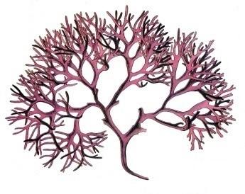 Image of Carragheen (Irish) moss