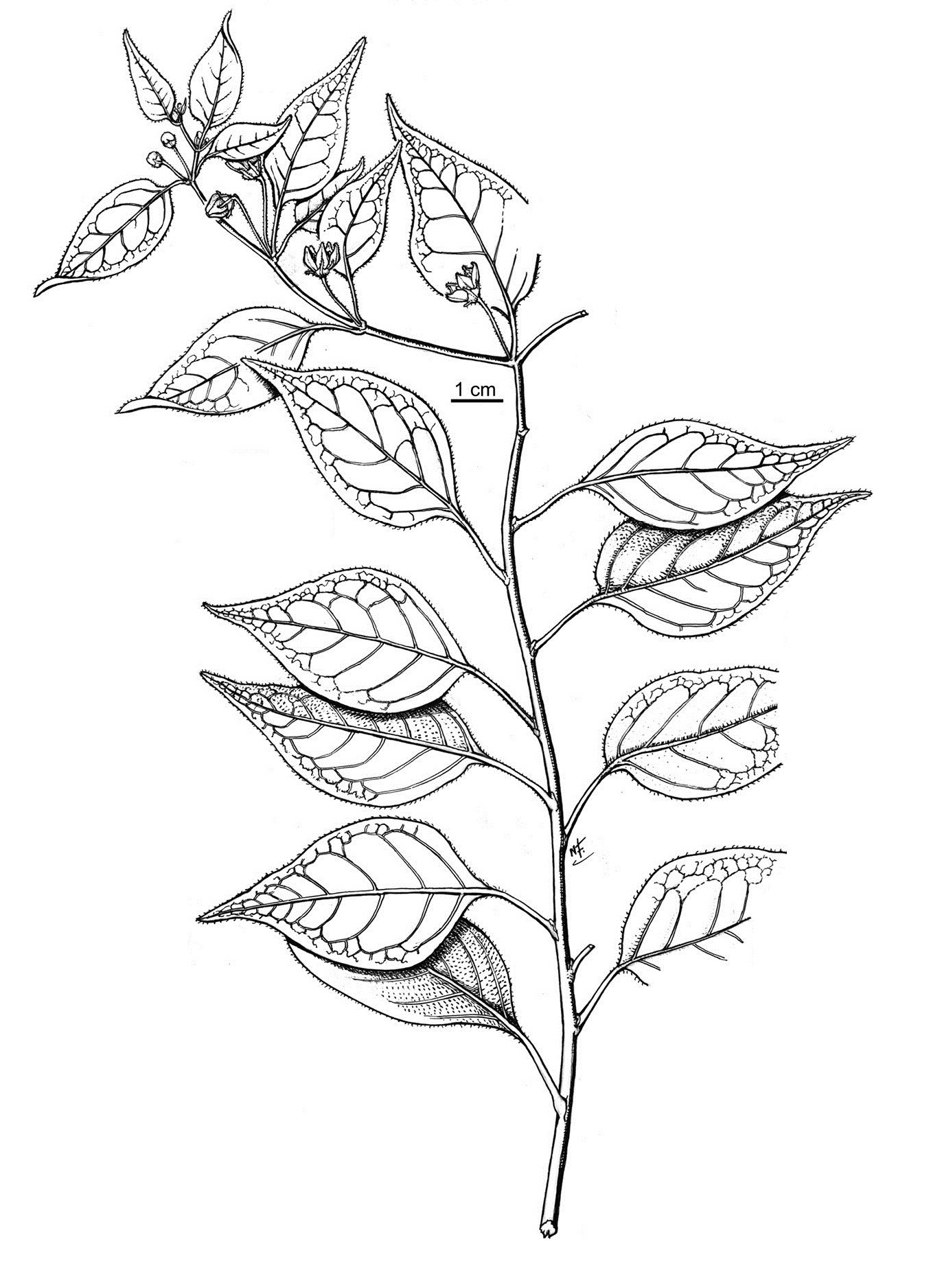 Image of <i>Capsicum eximium</i> A. T. Hunziker