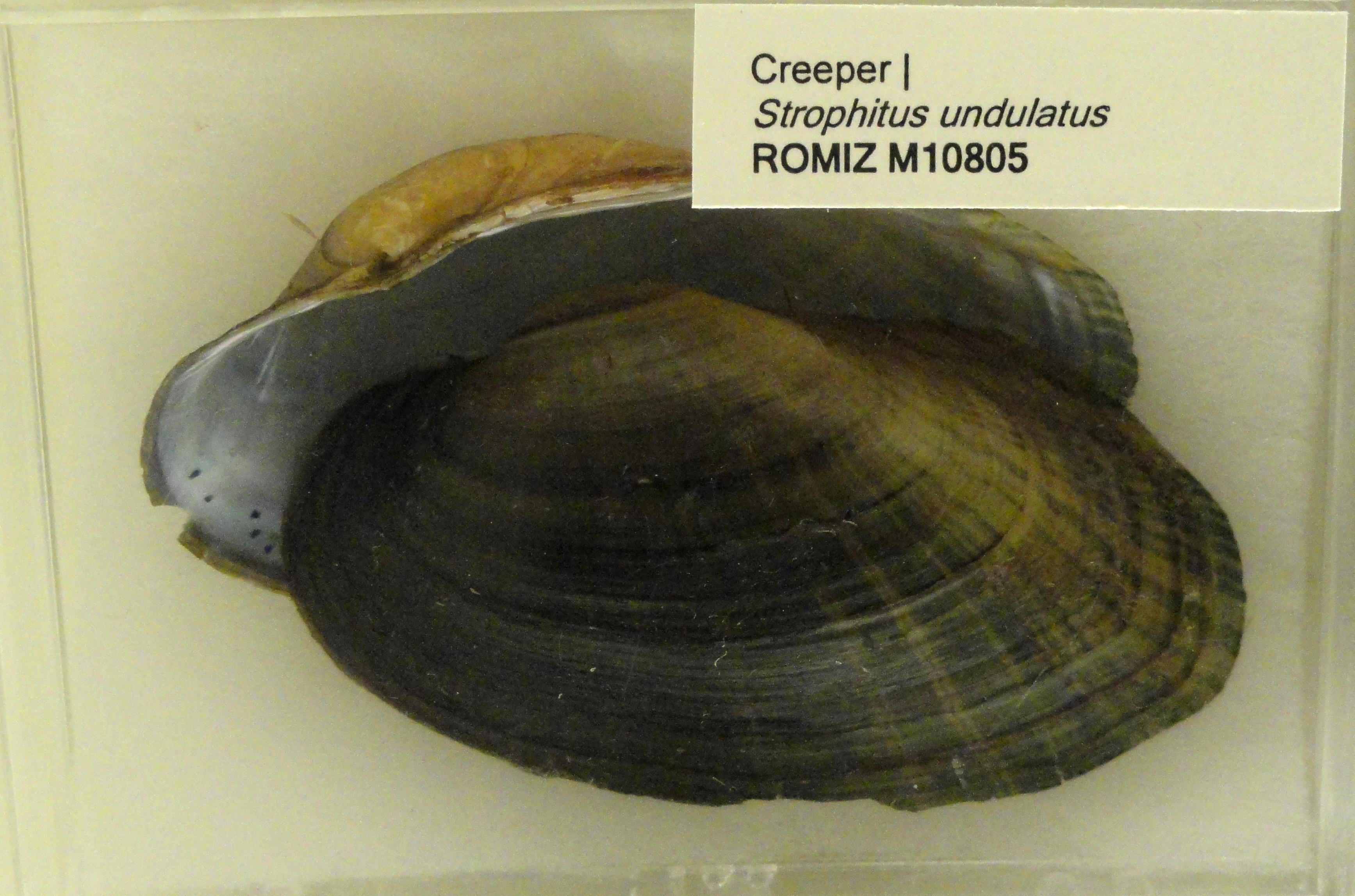 Image of <i>Strophitus undulatus</i> (Say 1817)