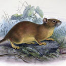 Image of Bower's White-toothed Rat