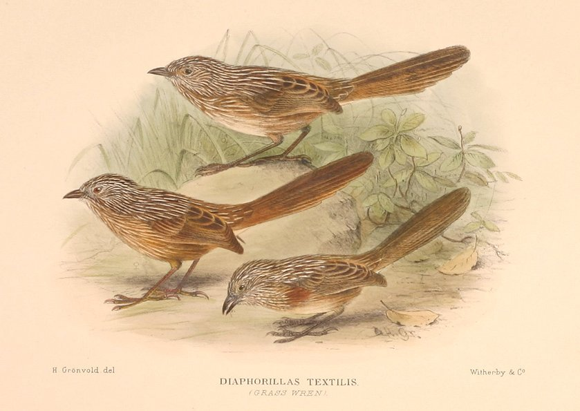 Image of Thick-billed Grasswren