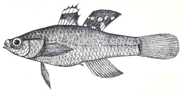 Image of Golden Carp-gudgeon